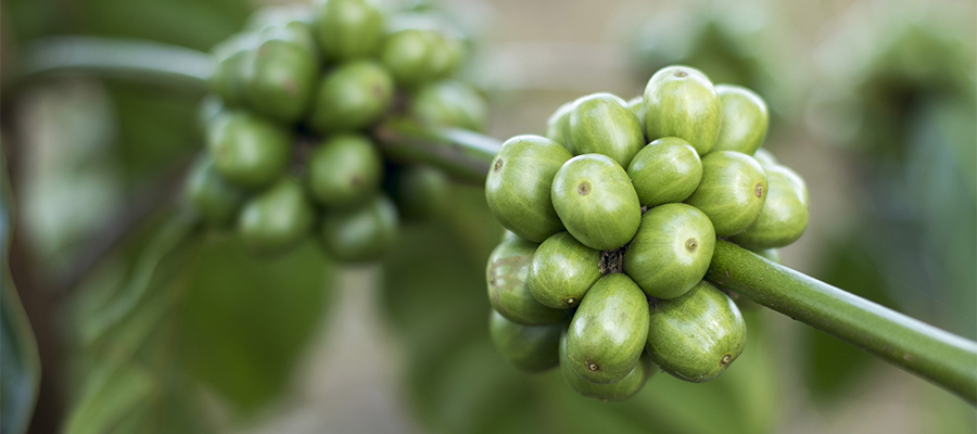 coffee-crop-green-cherries