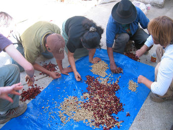 processing cherries