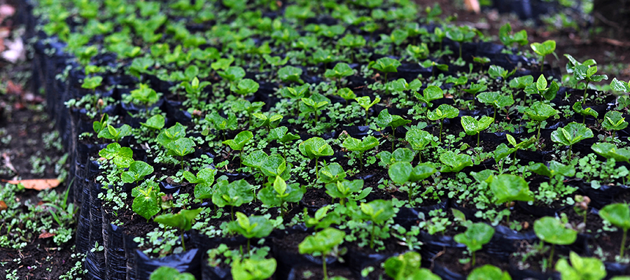 coffee-seedlings-farm