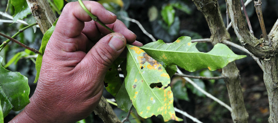 Coffee rust at a farm in Cauca, southwestern Colombia