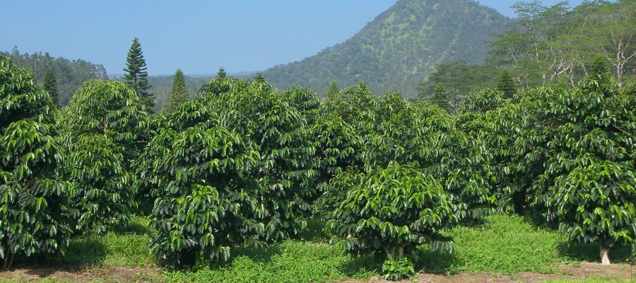Image result for coffee plant