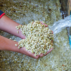 Green coffee beans being rinsed