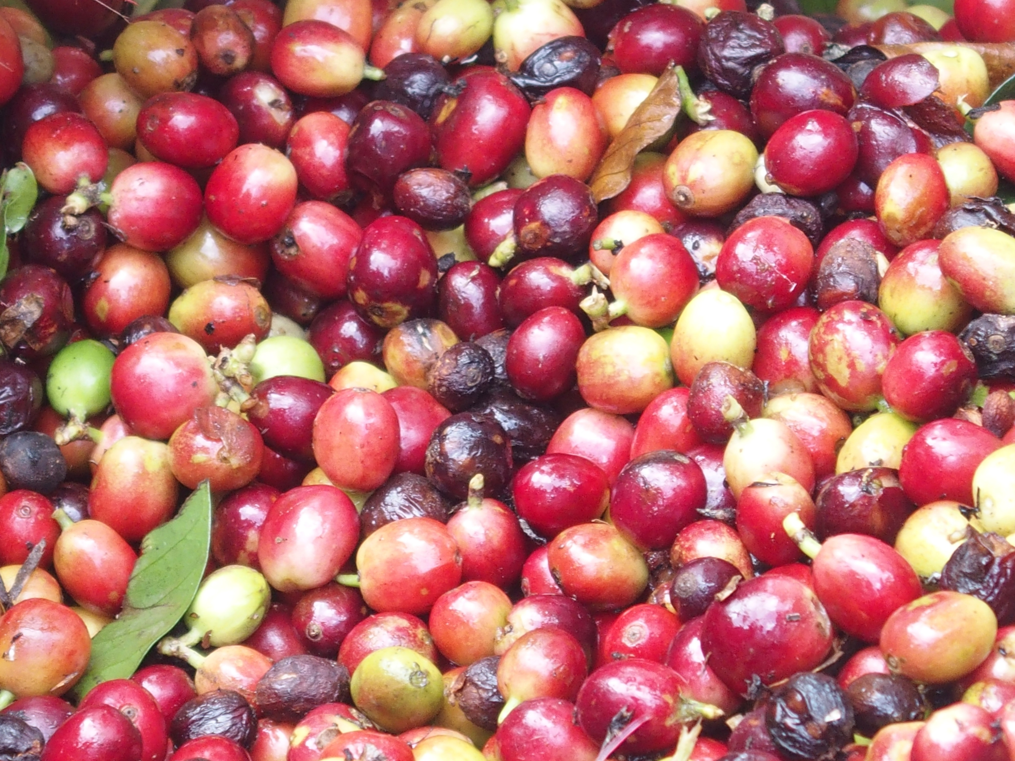 10 Steps From Seed To Cup Klinning Green Coffee Blend Cherries On The Tree